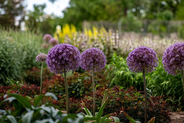 growing allium flowers in a garden
