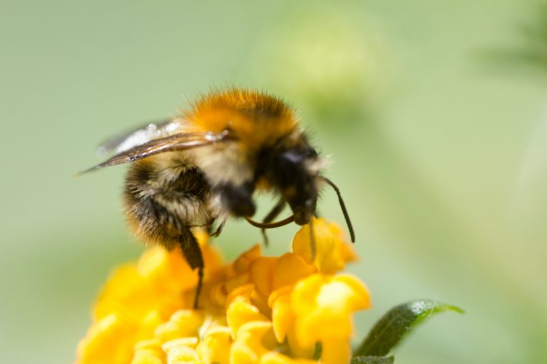 Bee collecting pollen from a lantana plant