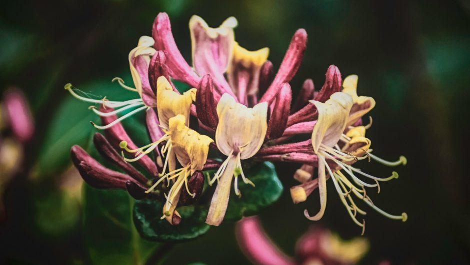 How to grow honeysuckle flowers