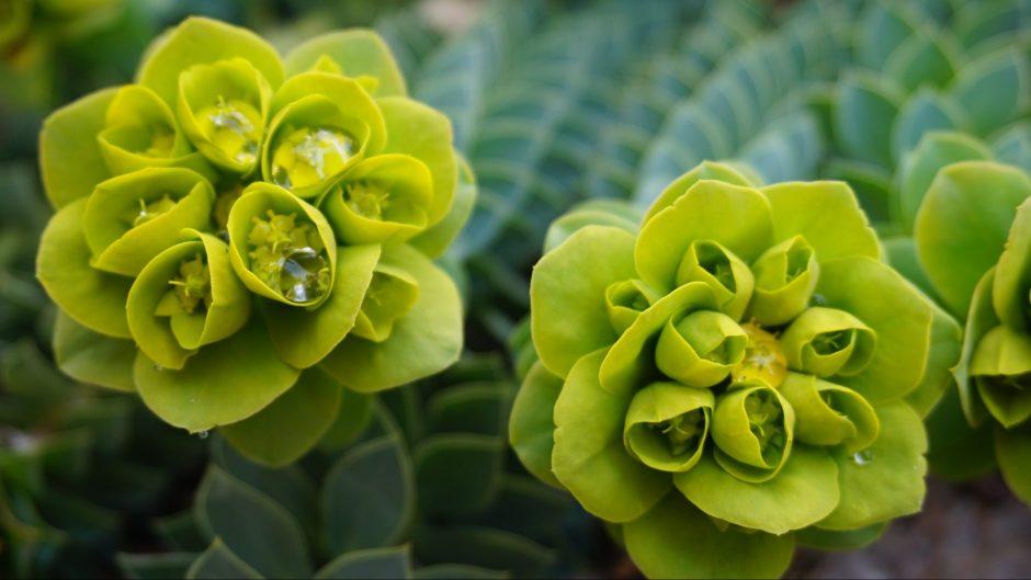 List of Green Flowers