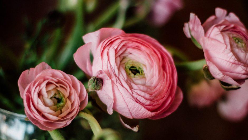 How to Grow Ranunculus