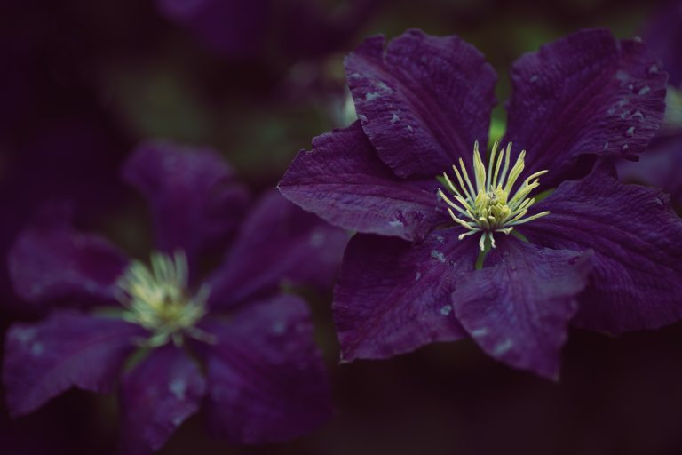Purple clematis flowers after the rain