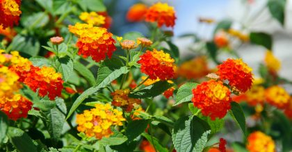Bright yellow and orange inflorescences of lantana flower against the blue sky.