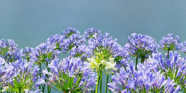 Purple-blue flowers of Agapanthus ( lily of the Nile, African lily ), genus of herbaceous perennials that bloom in summer. Horizontal seamless floral border