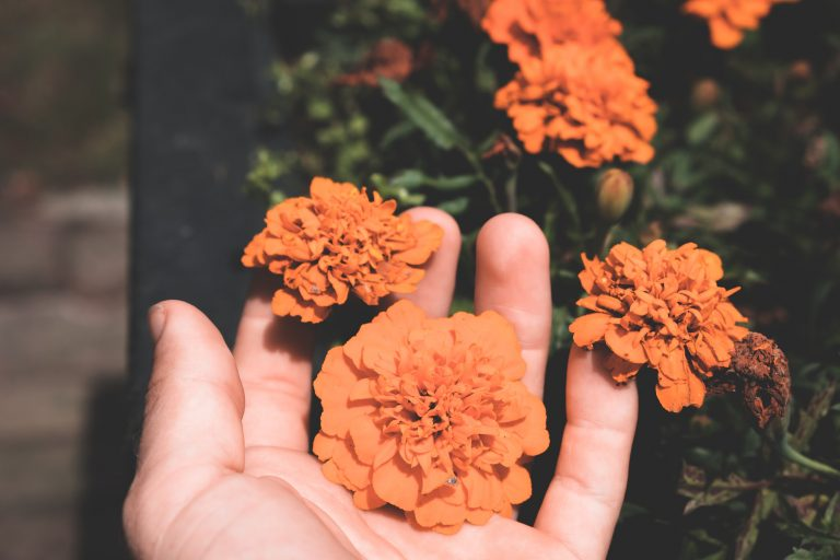 A hand holding some marigold flowers