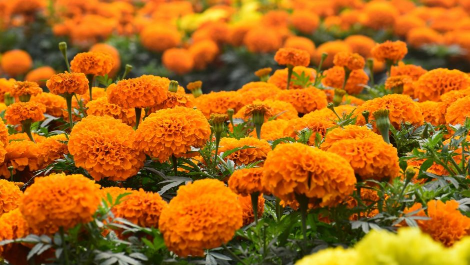 a field of marigold flowers