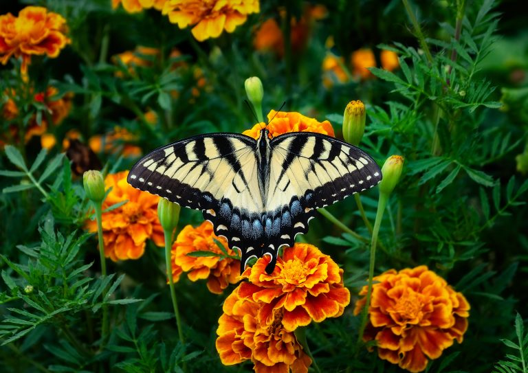 A butterfly over a French marigold