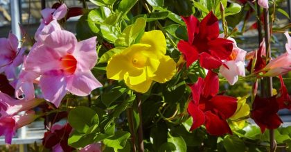 Beautiful colorful flower, Mandevilla laxa, Chilean jasmine, close-up.