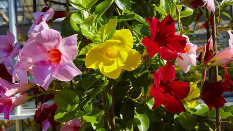 Beautiful colorful flower, Mandevilla laxa, Chilean jasmine, close-up.