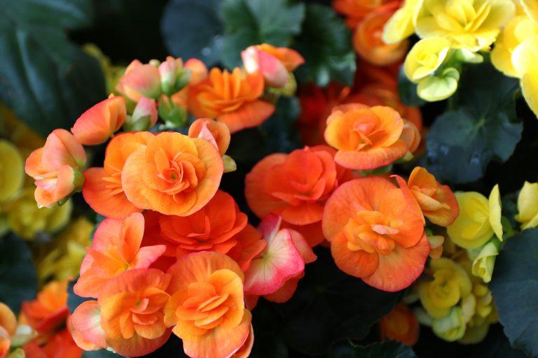 Beautiful orange begonia flowers