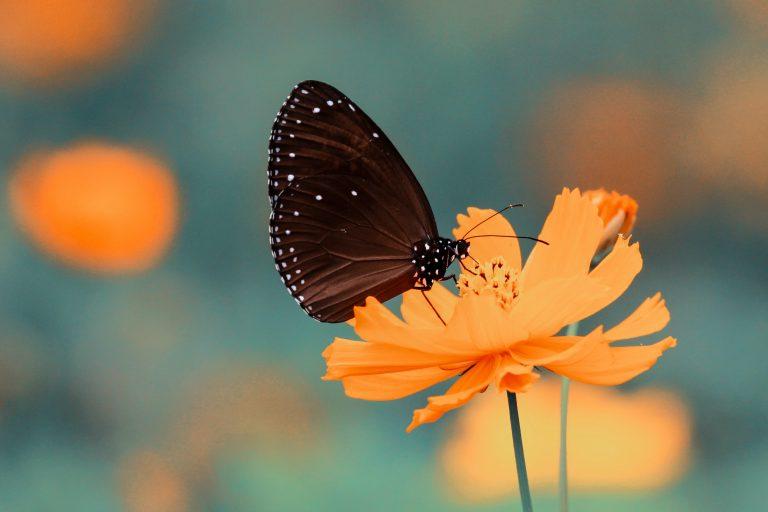 butterfly on an orange cosmos flower