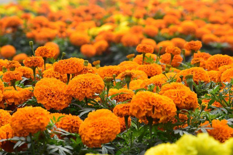 field of marigold flowers in full bloom