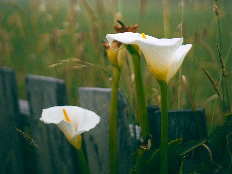 outdoor calla lilies