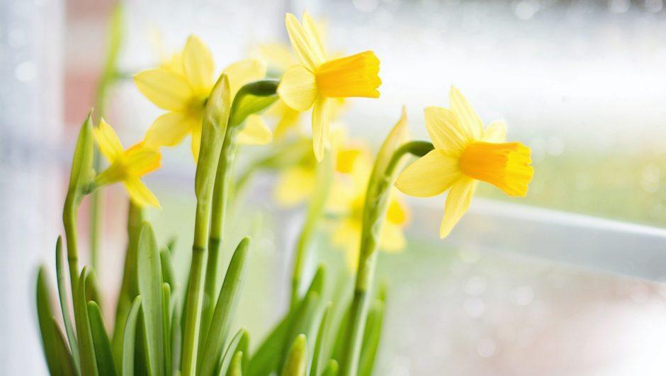 How to Grown Daffodil Bulbs