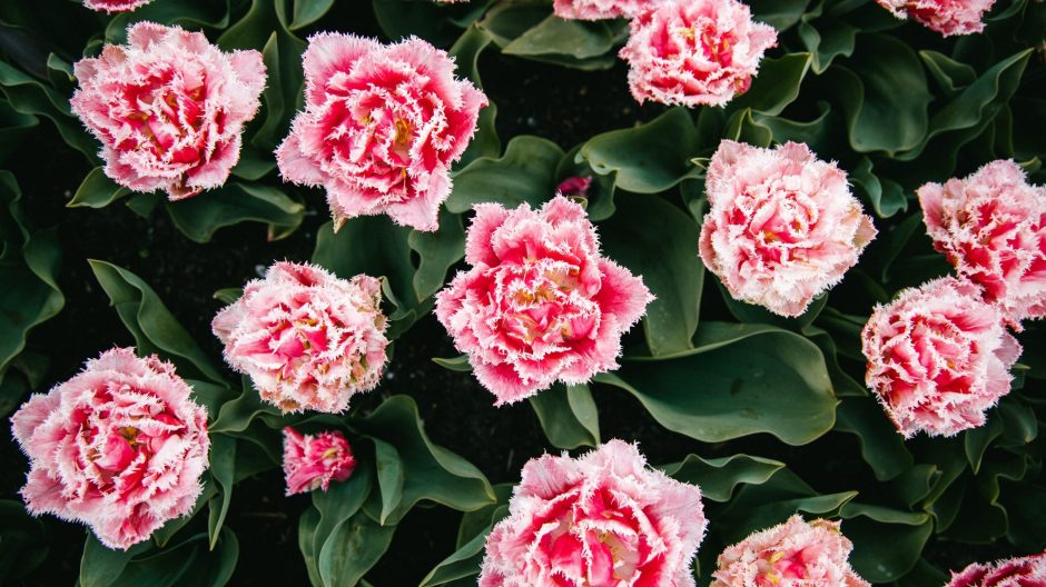 How to Grow Carnations