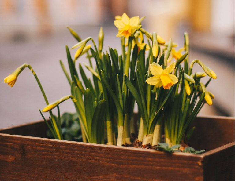 Daffodil flowers in a planter box