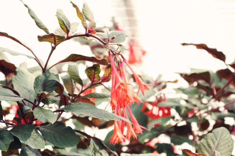 Orange honeysuckle bush