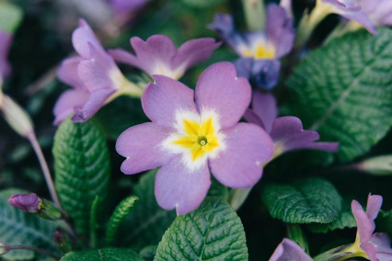 Purple and Yellow Primrose flower growing