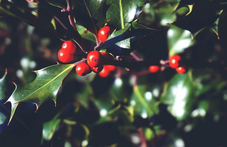 Red berries growing on a holly bush