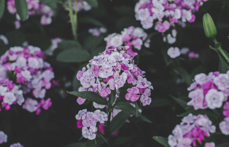 phlox in full bloom
