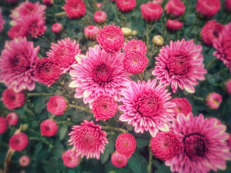 Bright pink chrysanthemum blossoms and buds in a garden