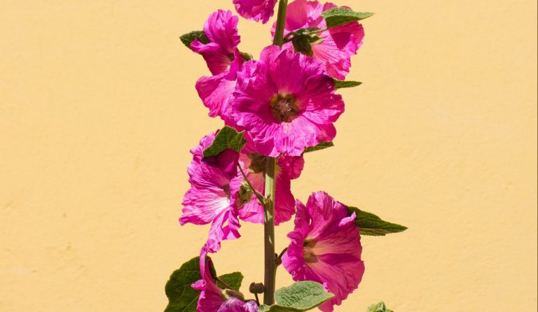 Pink hollyhock blossoms