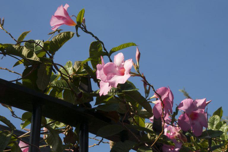 Sydney Australia, pink flowering mandevilla vine growing on metal fence