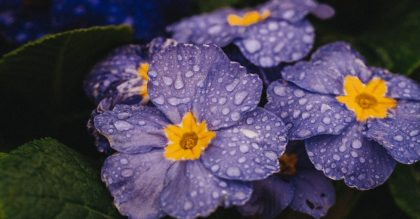 primrose blossoms with raindrops