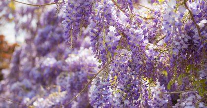 Beautiful fresh purple wisteria flowers blooming in spring garden