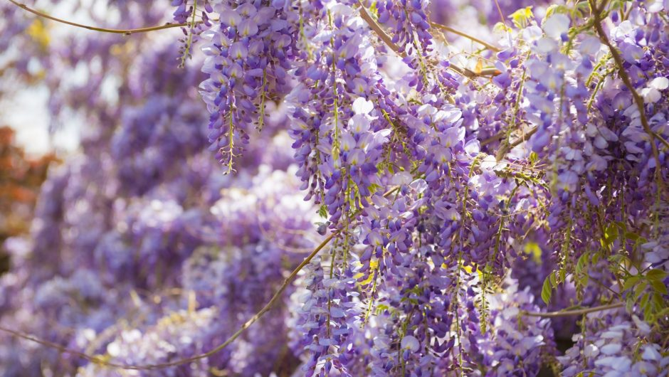 Beautiful fresh purple wisteria flowers blooming in spring garden
