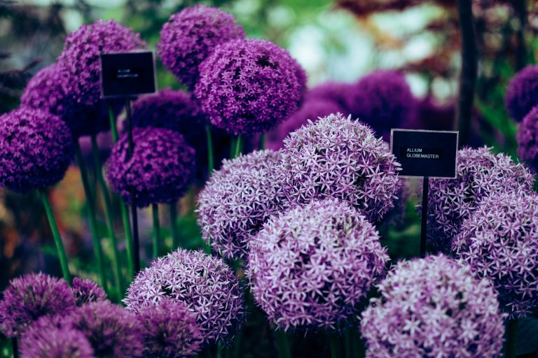 allium flowers in purple and lilac colors with labels