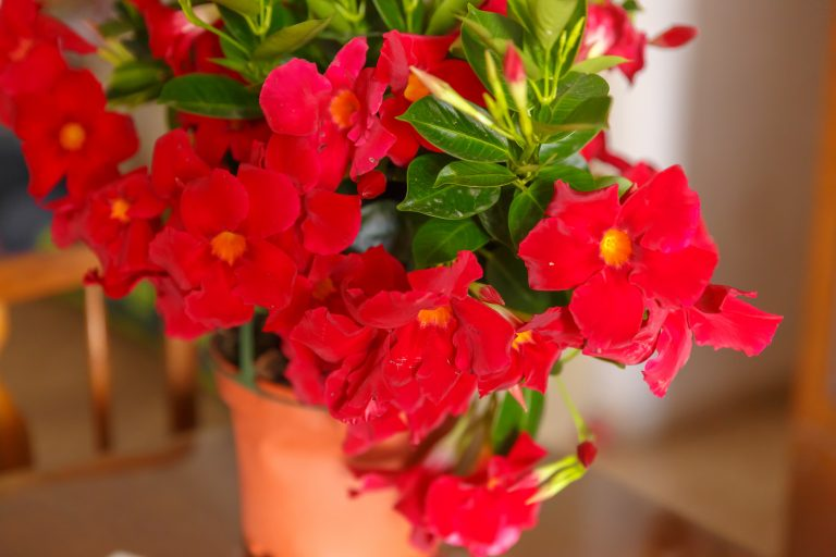 Red mandevilla in pot at blurred background