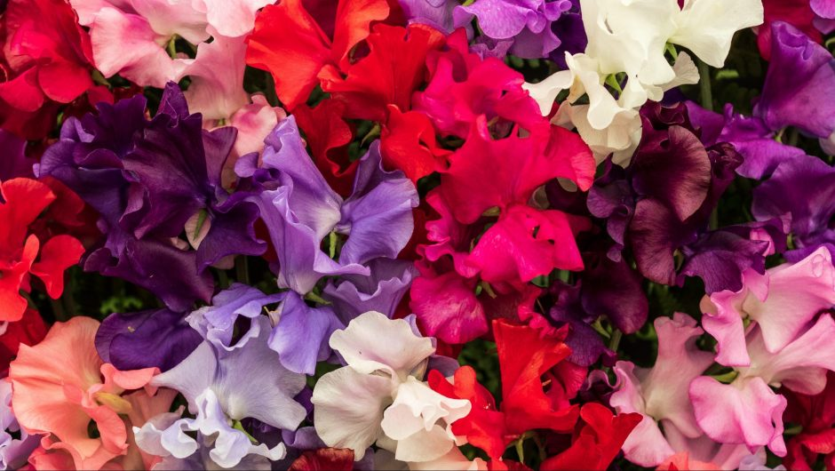 How to Grown Sweet Peas