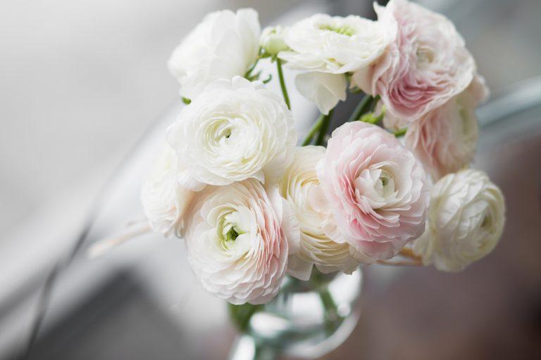 white and blush pink ranunculus