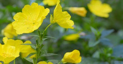 How to Grow Evening primrose (Oenothera biennis)