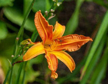 Common Orange Daylily - Hemerocallis lilioasphodelus