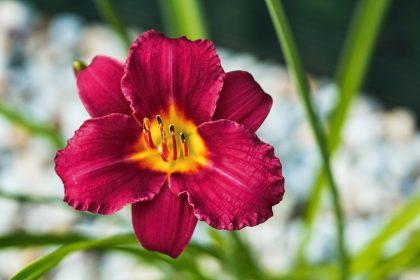 "Macro photo of daylily -Hemerocallis ""Pardon Me"""