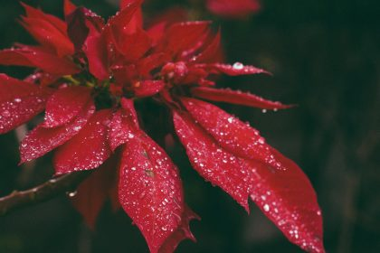 isolated Poinsettia flower with raindrops