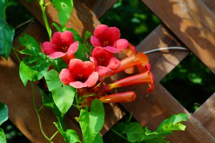 Beautiful red flowers of the trumpet vine or trumpet creeper (Campsis radicans)