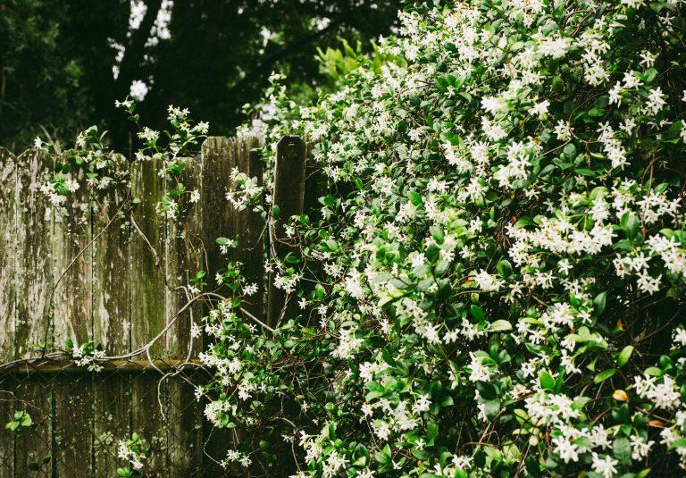 Jasmine flower garden