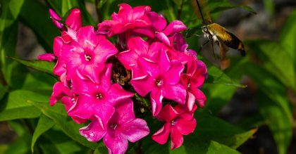 Types of Phlox Flowers