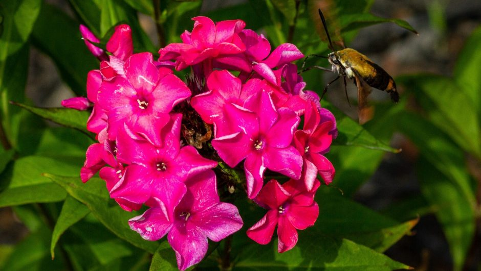 Types of Phlox Flowers