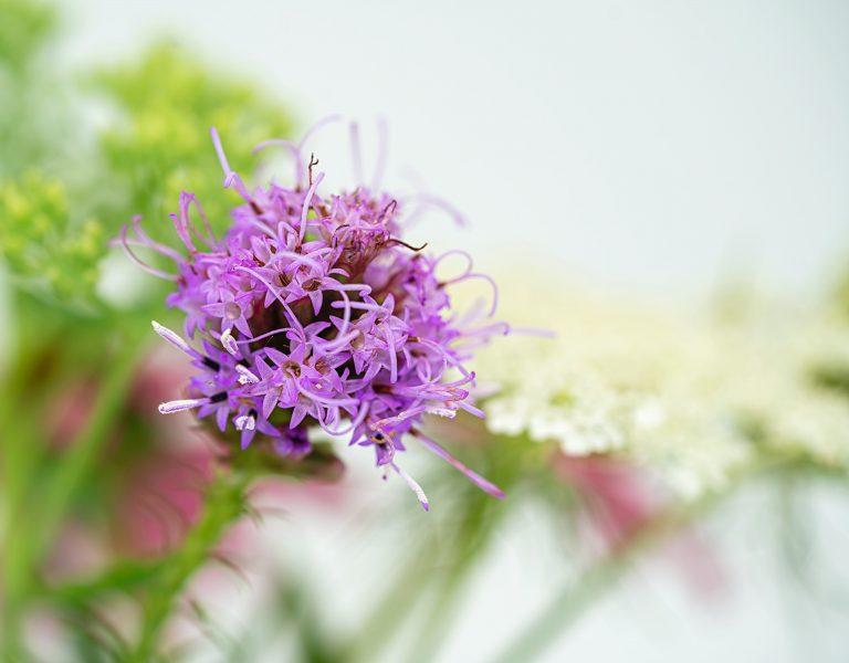 isolated purple liatris flower
