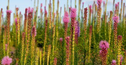Flowers field of blooming blazing stars or Liatris