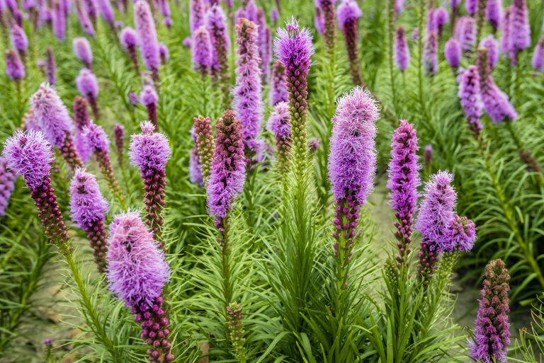 Purple flowering Liatris spicata plants from close