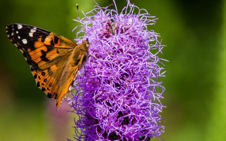 a butterfly on top of a purple liatris flower