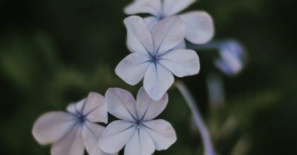 purple periwinkle shrub