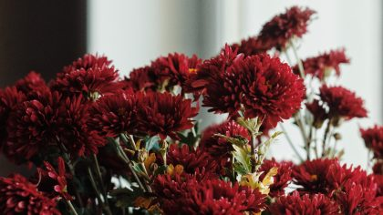 red chrysanthemums blossoms
