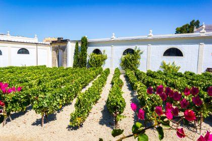 Vineyard in Jerez de la Frontera