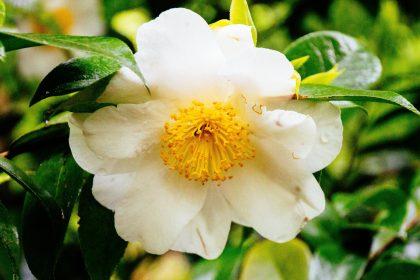 isolated white camellia flower